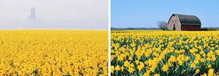 daffodil01.jpg