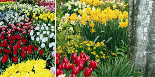 daffodil02.jpg